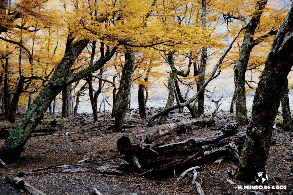 Bosque amarillo en el Cerro Tronador. Bariloche en otoño