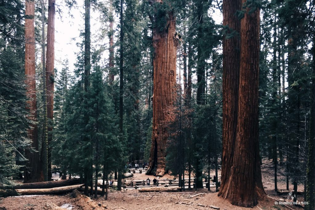 Sequoias. costa oeste de estados unidos