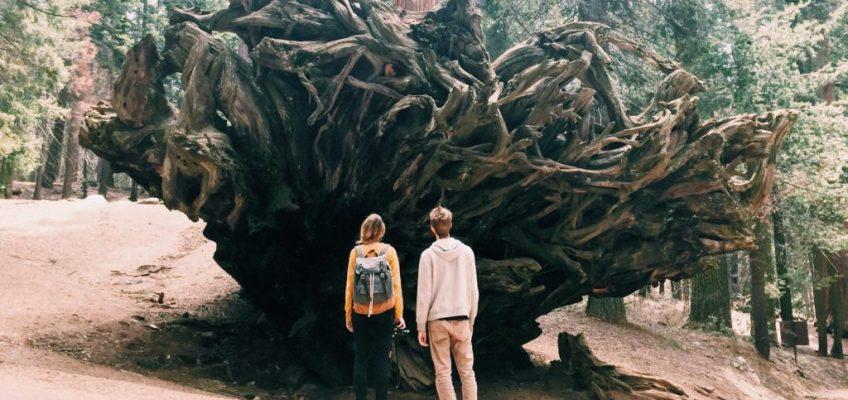 Las raíces del gigante. Parque Nacional de las Secuoyas
