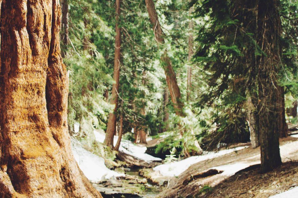 Un bosque de fantasía. Parque Nacional de las Secuoyas