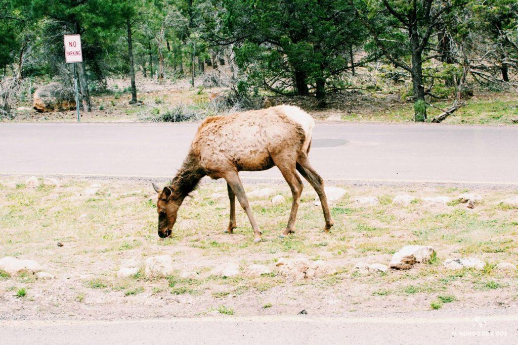 Ciervos en el Gran Cañón. Gran Cañón en un día