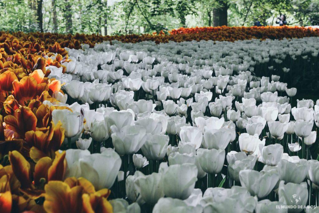 Parque keukenhof visita al jard n de tulipanes m s grande - Jardines de holanda ...