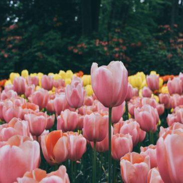Parque Keukenhof, visita al Jardín de Tulipanes más grande del mundo.