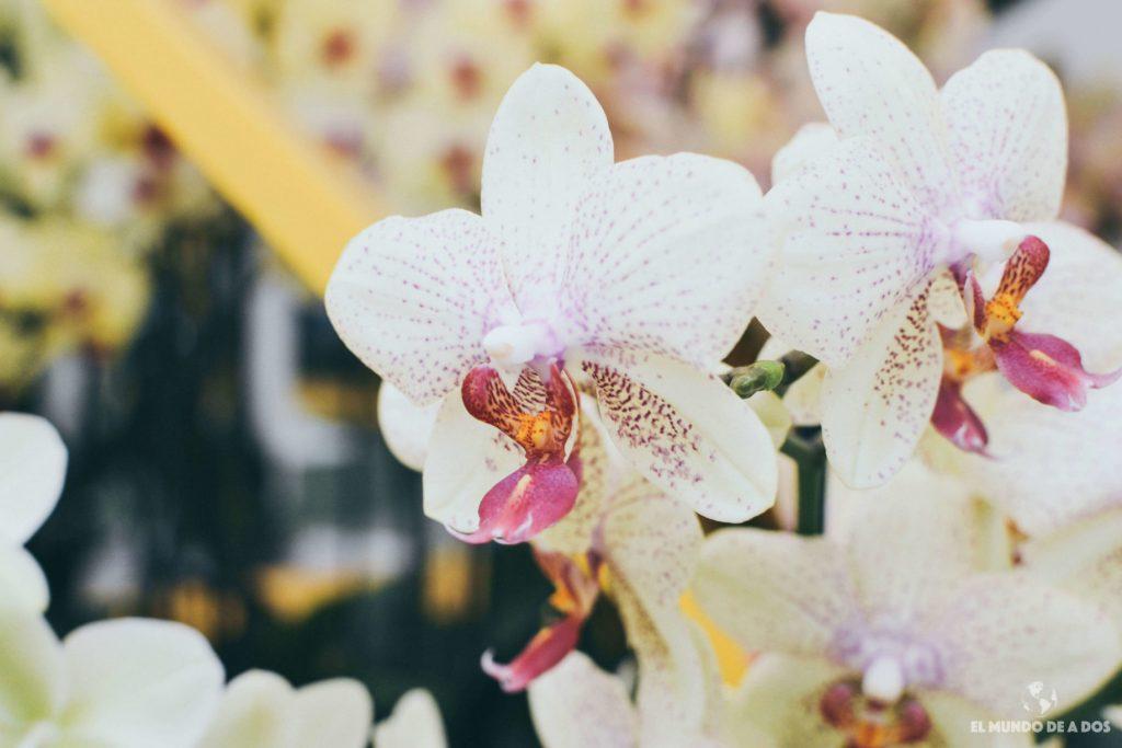 Orquídea. Parque Keukenhof