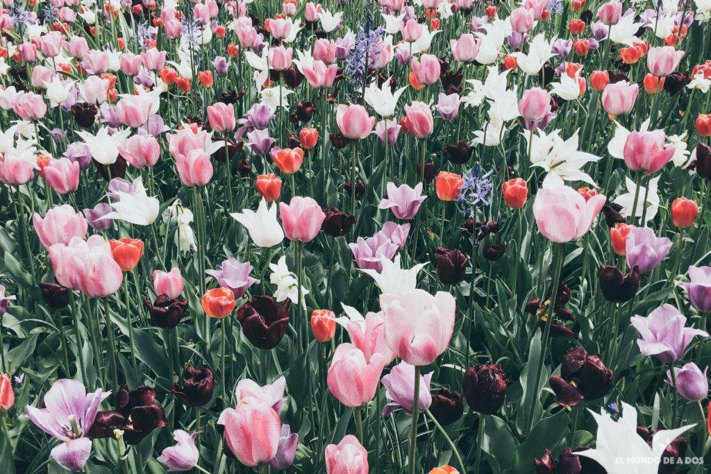 Mar de tulipanes. Parque Keukenhof