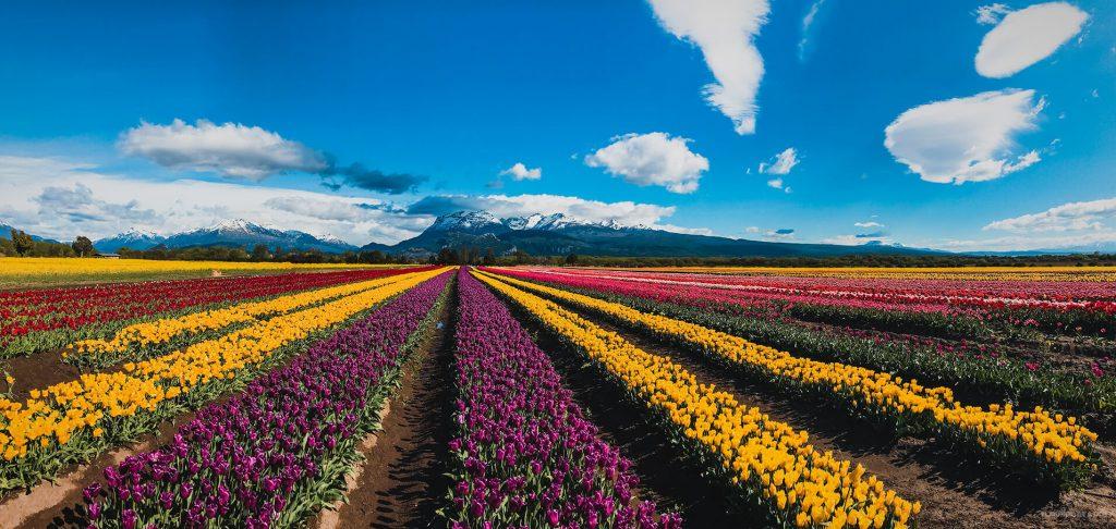 Panorámica de los campos de tulipanes en Trevelin