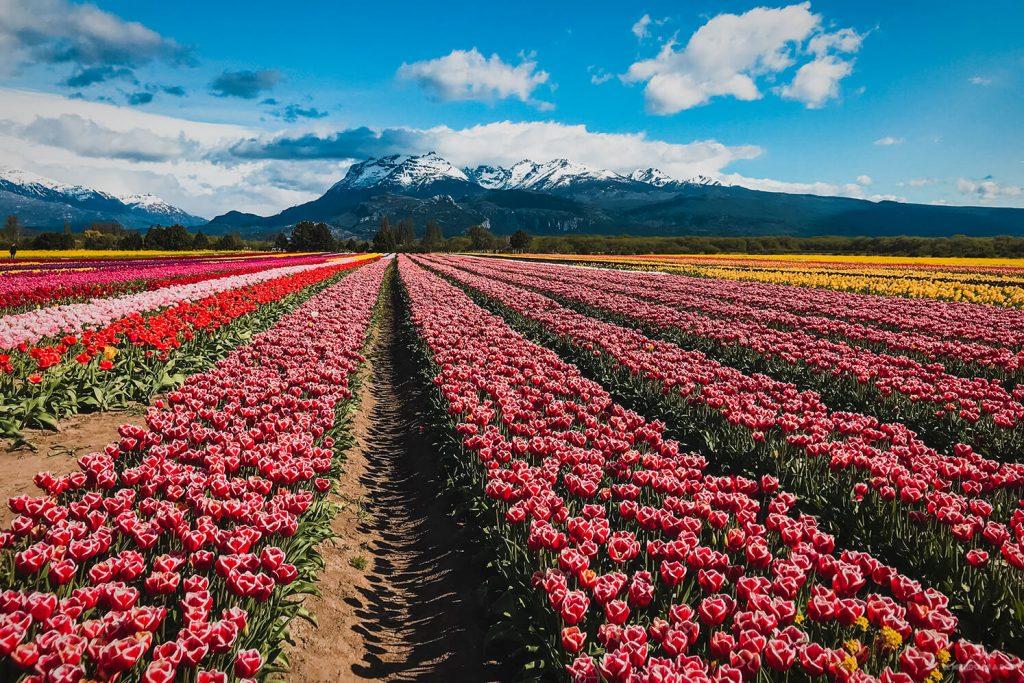 La mejor postal de los campos de tulipanes en Trevelin
