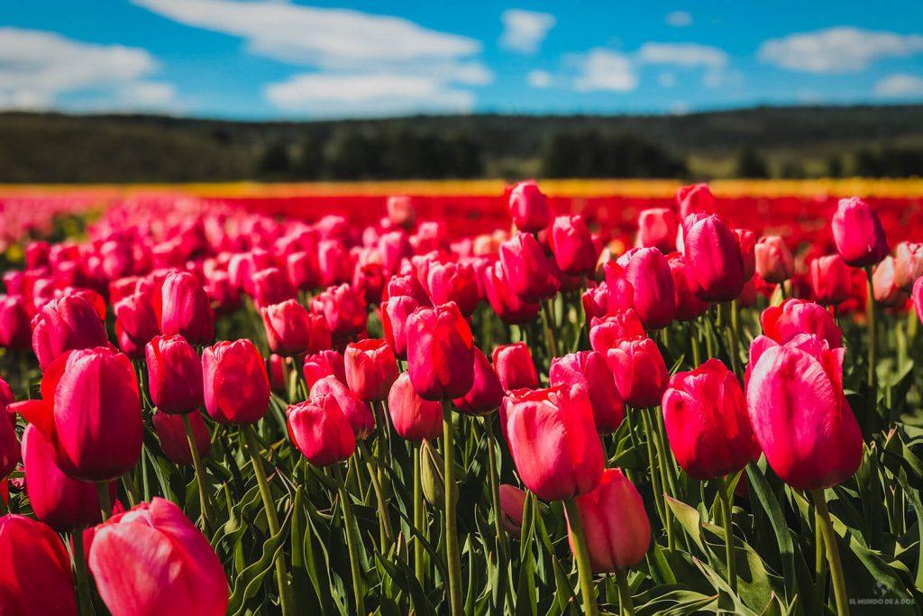 La magia de los tulipanes en Trevelin