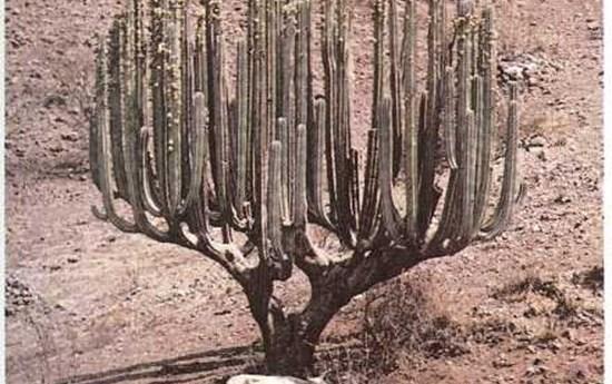Plantas del desierto