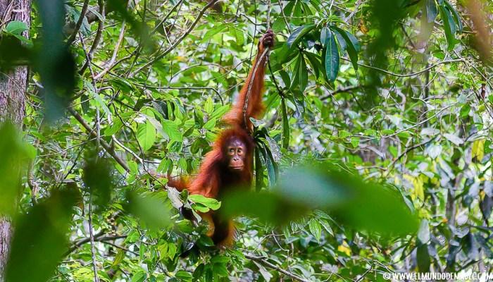 Ver orangutanes en Borneo. Sepilok, la casa del hombre del bosque