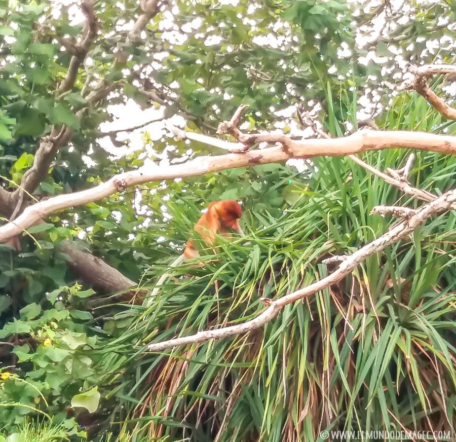 Parque Nacional de Bako - Mono narigudo
