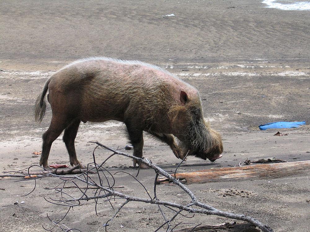 Parque Nacional de Bako - Cerdo barbudo