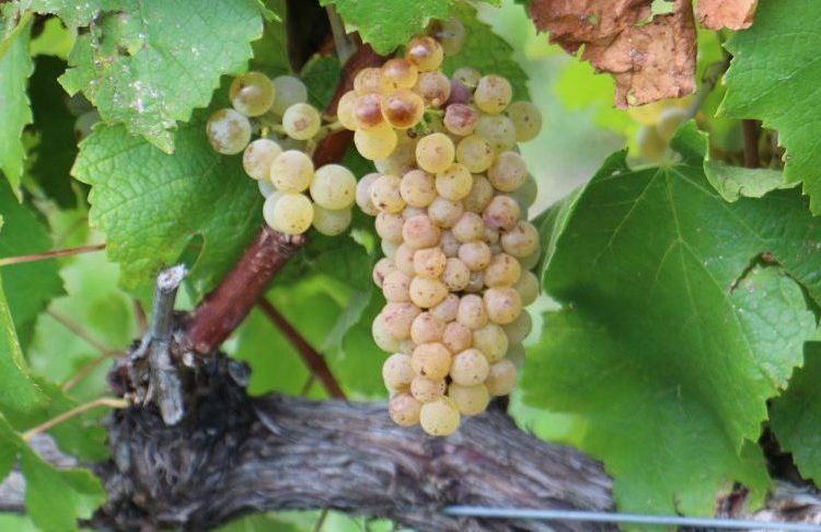 Eloquesta Wines - Chardonnay Grapevine