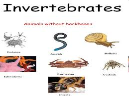 THE INVERTEBRATES SONG