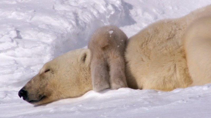 POLAR BEARS TAKE THEIR FIRST STEPS  (David Attenborough)