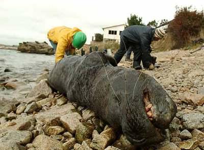 https://i1.wp.com/www.elpais.com/recorte/20070601elpepuint_4/XLCO/Ies/leon_marino_yace_vida_costa_bahia_San_Vicente_Chile_vertido_crudo_ha.jpg