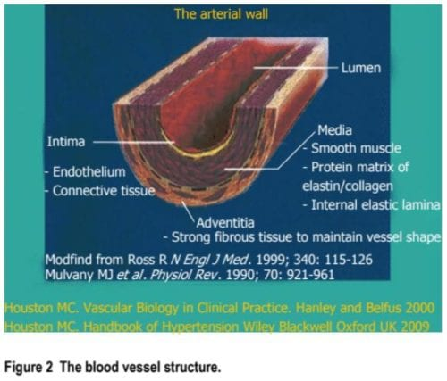 Blood Vessel Structure