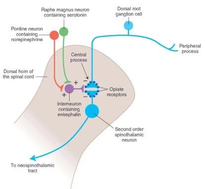 Mecanismo de supresión de dolor ascendente y descendente Diagrama 3 | El Quiropráctico El Paso, TX