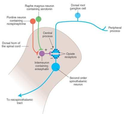 Ascending and Descending Pain Suppression Mechanism Diagram 3 | El Paso, TX Chiropractor