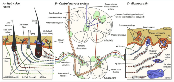 Figure 1 Organization and Projections of Cutaneous Mechanoreceptors | El Paso, TX Chiropractor
