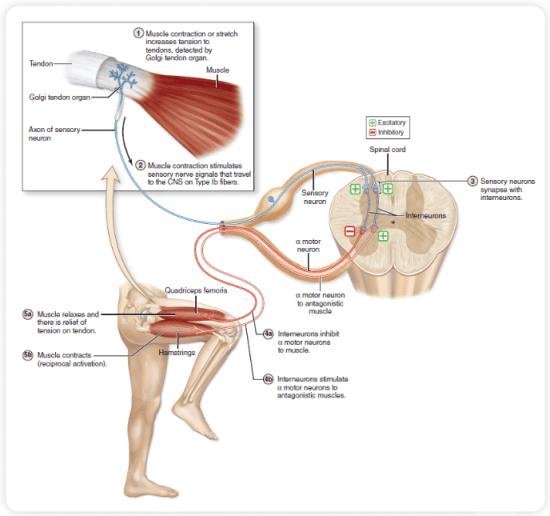 PNF Diagram 2 | El Paso, TX Chiropractor