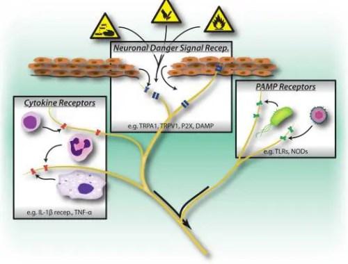 Figura Activadores de Activación 1 del Sistema Nervioso Periférico | El Quiropráctico El Paso, TX