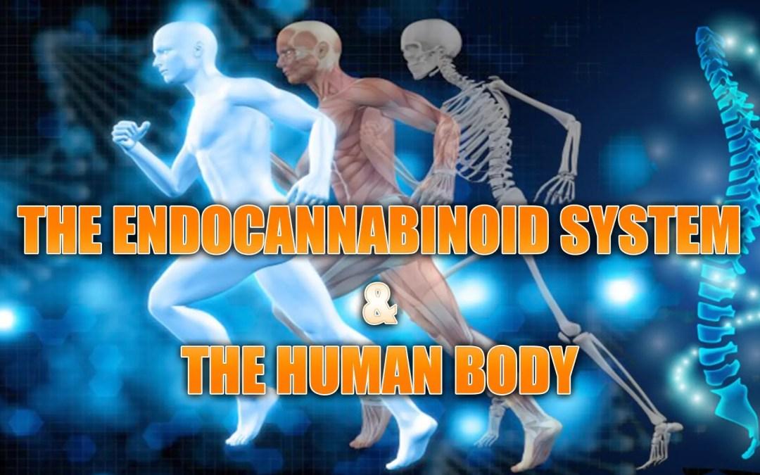 Sistema endocannabinoide e il corpo umano