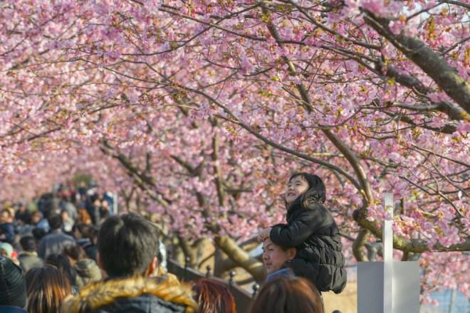 Una de las mejores fechas para viajar a Tokio es en primavera, cuando florecen los cerezos –de finales de marzo a principios de abril (iStock).