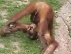 mono mongolo strikes back