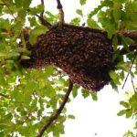 Alertan a población por picaduras de abejas que causaron muerte de ganadero de Rio Verde