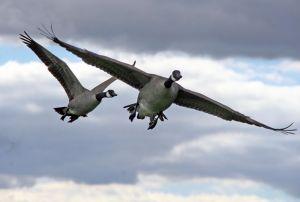 Branta_canadensis_in_flight,_Great_Meadows_National_Wildlife_Refuge