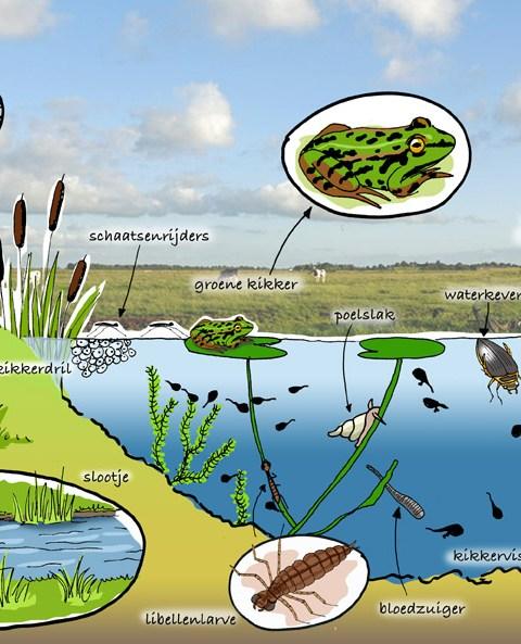 natuurplaat groene kikker