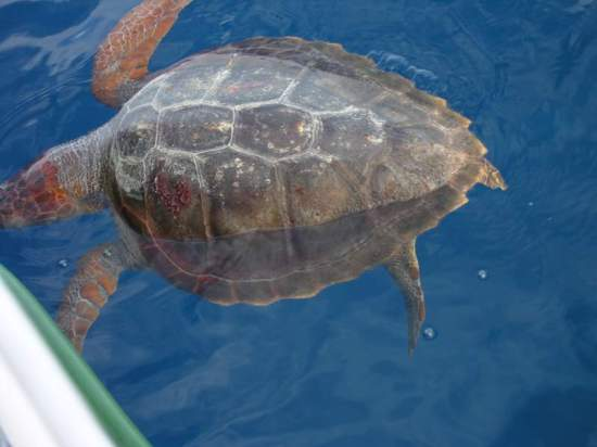 We nearly ran into this turtle north of the Cape Verdes.