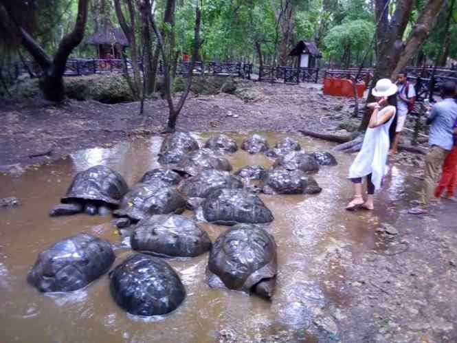 Tortoises in prison island - elsieisy blog