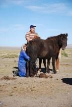 Paarden melken Mongolië