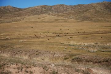 Roofvogels Mongolië