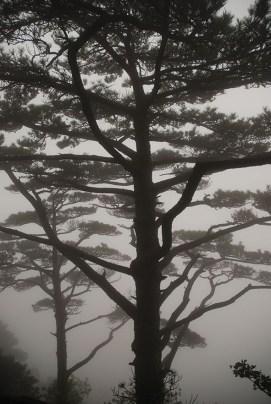 Huangshan Gele bergen dennebomen in de mist