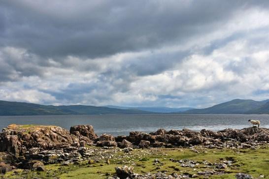 Schapen op Isle of Mull Schotland