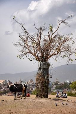 Terrein rondom de Pashupatinath tempel met een koe