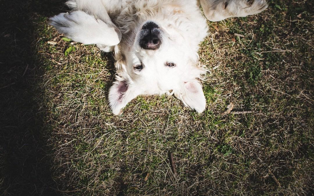 Fotógrafo de mascotas «Terra, una Golden preciona en el parque»