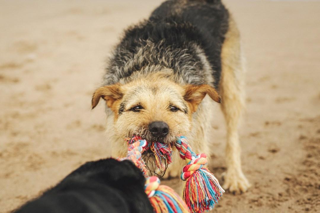 dos perros cogen un juguete cuerda