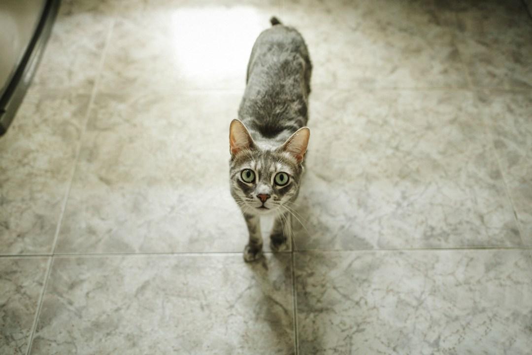 gato atigrado mira a cámara