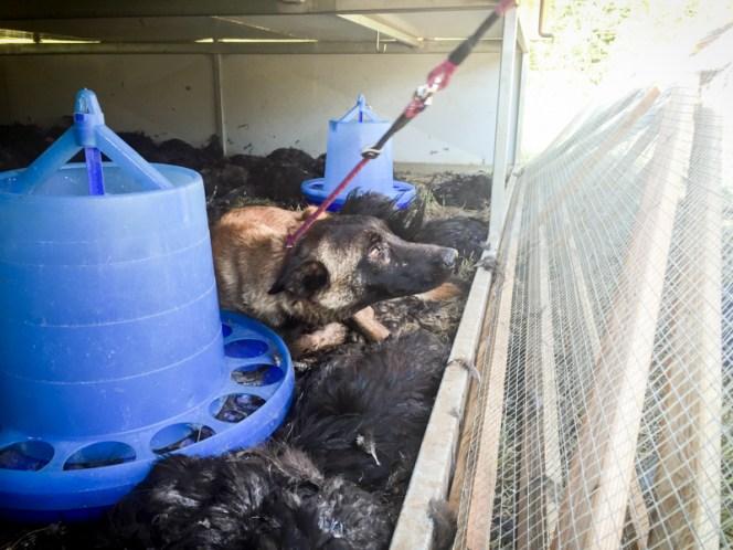fotografo-de-mascotas-007-perros-que-matan-gallinas