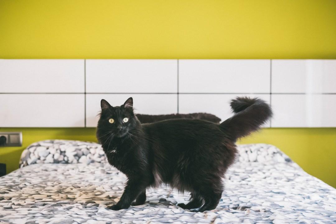 gato negro pelo largo
