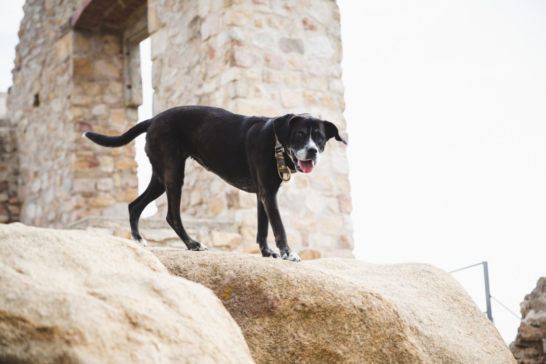 perra boxer castell burriac