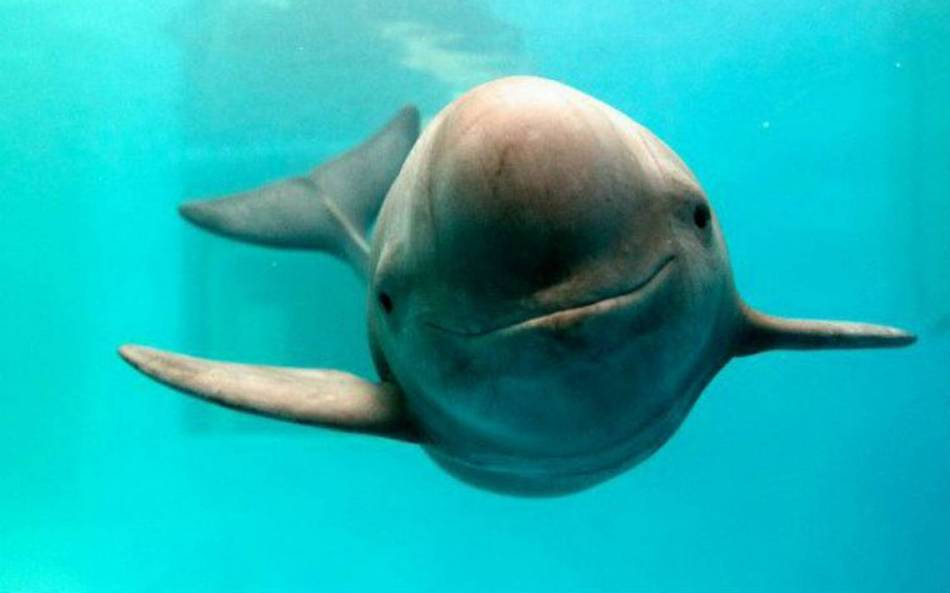 Resultado de imagen para vaquita marina