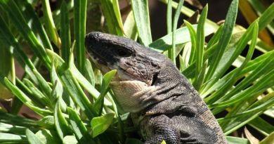 El lagartario de la isla de La Gomera