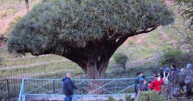 Símbolos de La Gomera: el Drago de Agalán