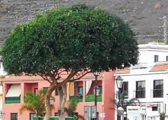 Valle Gran Rey comienza la poda de especies arbóreas por todo el municipio
