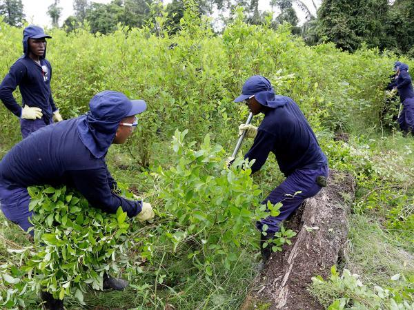 Erradicación de cultivos ilícitos